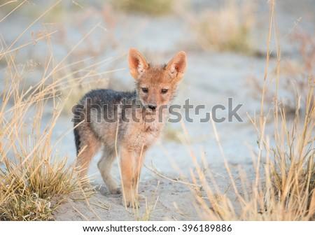 Vey young jackal fun Kalahari desert - stock photo