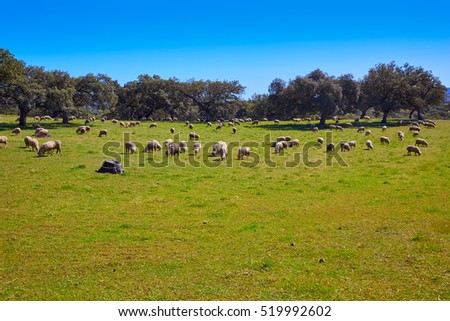 Via de la Plata way dehesa sheep grasslands in Extremadura of Spain