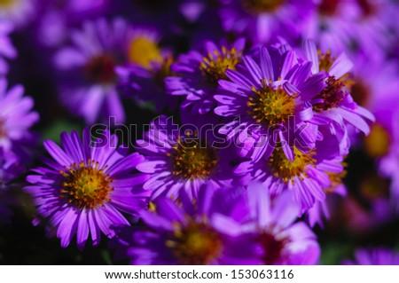 Vibrant Alpine asters (Aster Alpinus) - stock photo