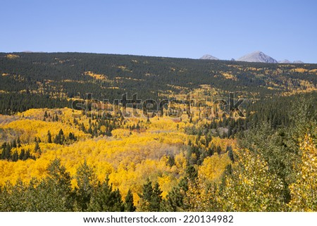 Vibrant Aspen Stand with Mountains - stock photo