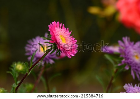 Vibrant Aster blooming in the garden - stock photo