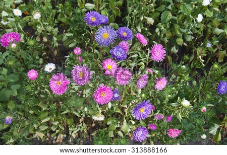 Vibrant Asters blooming in the garden, green background - stock photo