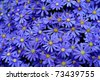 Vibrant bright purple daisy flowers in a pattern filling the frame - stock photo