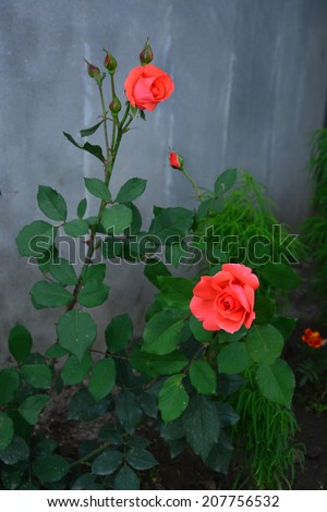 Vibrant coral roses blooming in the garden - stock photo