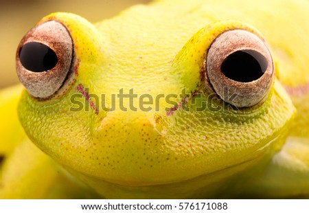 Vibrant eyes of Polka dot tree frog, Hypsiboas punctatus. Animal from the tropical Amazon rain forest. A beautiful curious yellow treefrog.