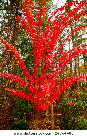Vibrant fall color showing with this crepe myrtle tree. - stock photo