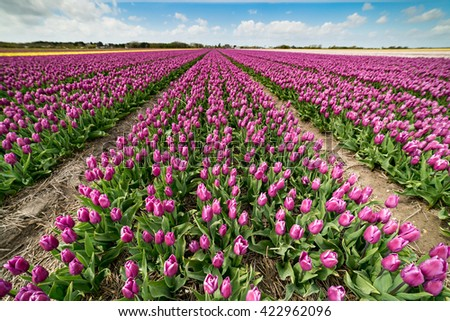 Vibrant fields of colorful tulips carpet the Skagit Valley during the annual springtime festival. This is a popular time for tourists to visit the area. - stock photo