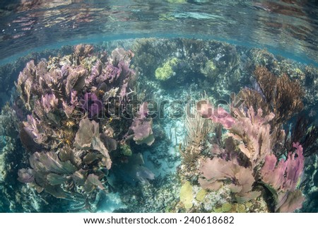 Vibrant gorgonians grow in shallow water off the coast of Belize in the Caribbean Sea. The tropical region is a popular vacation destination for tourists from all over the world. - stock photo