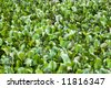 Vibrant Green Background Texture, Highly invasive water hyacinth - stock photo