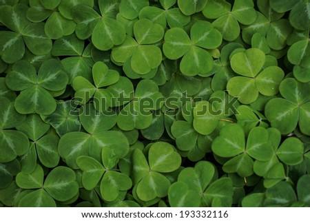 Vibrant green shamrocks growing in the springtime - stock photo