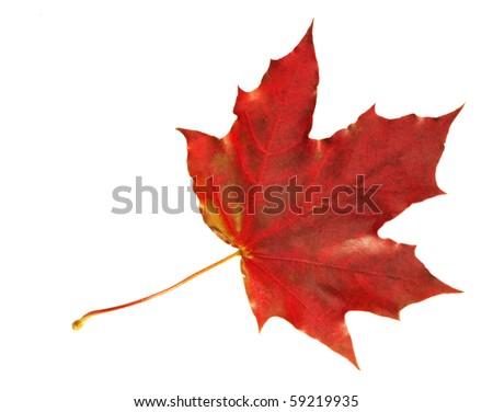 Vibrant maple leaf in scarlet  colors of fall isolated on white. - stock photo