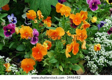 Vibrant Pansy Patch - stock photo