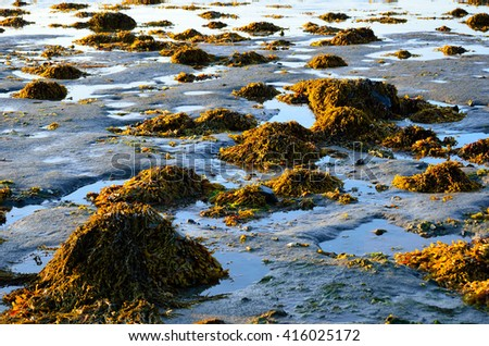 vibrant piles of brown yellow sea weed at low tide - stock photo