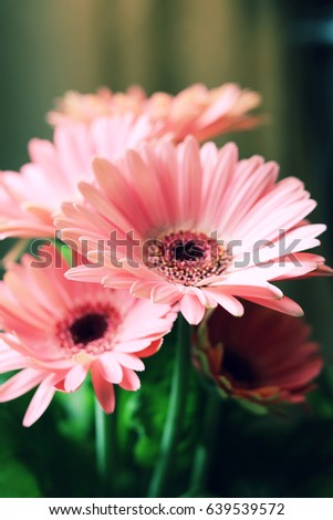 Vibrant Pink Daisy Flowers