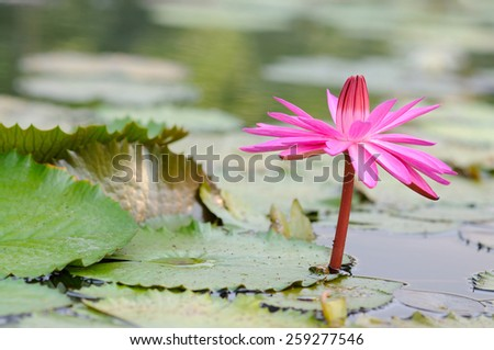 Vibrant Pink Water Lily - stock photo