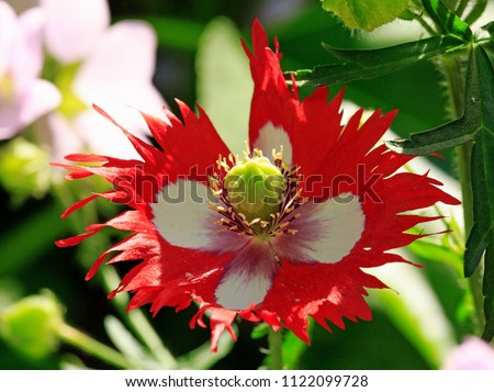 Vibrant red and white poppy with serrated petal edges and a large bulbous yellow stamen in full bloom againsrt a natural garden background