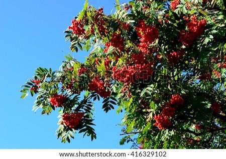 vibrant red berries on rowan tree in autumn - stock photo