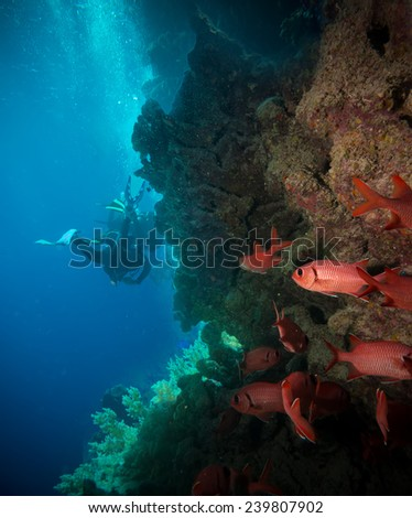 Vibrant red soft coral (Dendronephthya hemprichi) growing on a tropical coral reef with scuba diver silhouette in the background. Red Sea, Egypt. - stock photo