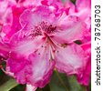 Vibrant rhododendron blooming in english country garden. - stock photo