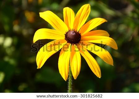 Vibrant Rudbeckia flower - stock photo