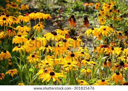 Vibrant Rudbeckia flowers - stock photo
