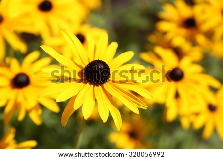 Vibrant Rudbeckia flowers, for backgrounds or textures - stock photo