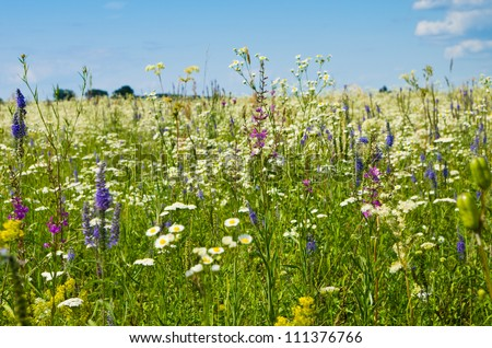 Vibrant summer meadow with camomiles and other flowers on a sunny day - stock photo