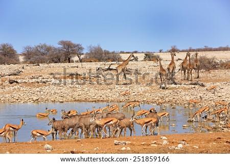 Vibrant waterhole in Etosha National Park with Giraffe, springbok and Oryx - stock photo