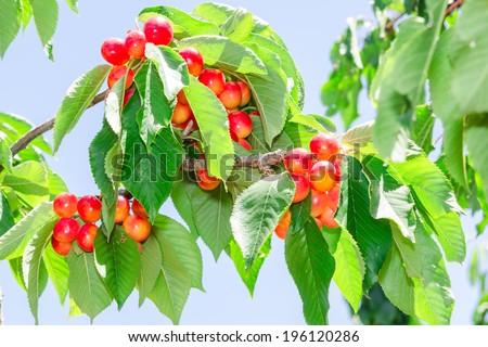 Vibrant white rainier cherry berry bunches on sunlight tree branch in summer orchard garden - stock photo