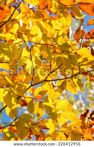 Vibrant yellow backlit leaves on a tree in autumn - stock photo