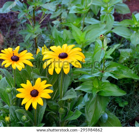 Vibrant yellow Black Eye Susan Flower - stock photo
