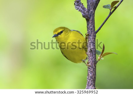 Vibrant yellow Blue-winged warbler perched on a springtime branch in early May. - stock photo