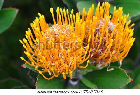 Vibrant yellow pincushion flower