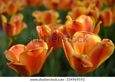 Vibrantly colorful tulips in the sunlight on a clear springtime day. - stock photo