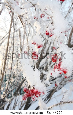Viburnum berries in frost in winter and sun shines through branches. - stock photo