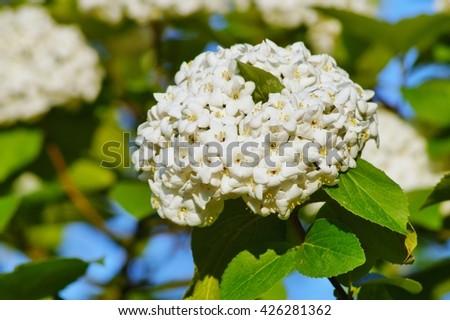 Viburnum carlcephalum (viburnum English) - stock photo