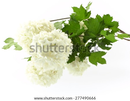 Viburnum opulus isolated on white background - stock photo