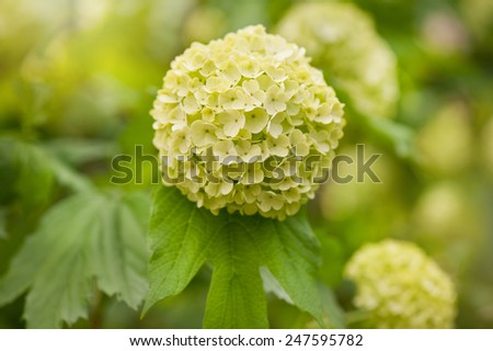 Viburnum opulus Roseum inflorescence, blooming green shrub ornamental garden plant known as Sterile or Snowball, globular flower heads blossoms, deciduous plant grow in Poland, horizontal, Kalina - stock photo