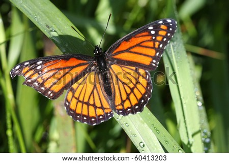 Viceroy Butterfly Limenitis archippus - stock photo