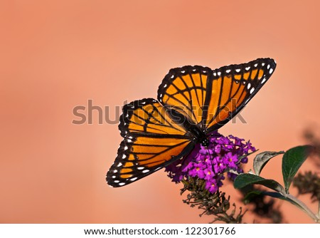Viceroy butterfly (Limenitis archippus) feeding on purple butterfly bush. Viceroy is often mistaken for Monarch butterfly because it resembles Monarch very closely. Copy space. - stock photo