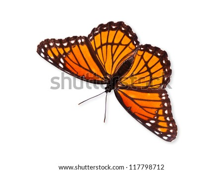 Viceroy butterfly (Limenitis archippus) isolated over white with clipping path. Viceroy is often mistaken for Monarch butterfly because it resembles Monarch very closely. - stock photo