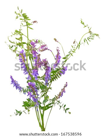 Vicia cracca flowers isolated on white background - stock photo