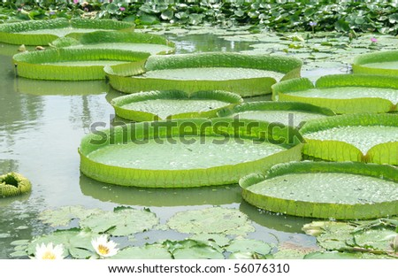 Victoria Regia - the largest water lily in the world - stock photo