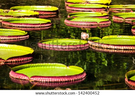Victoria Regia, the world's largest leaves, of Amazonian water lilies - stock photo