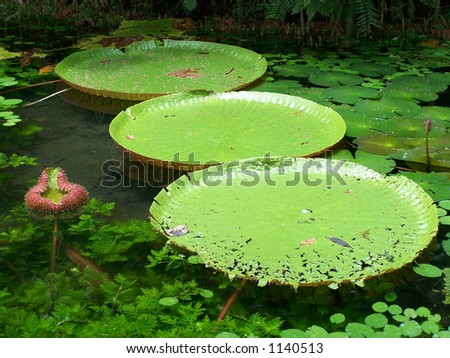 Victoria Regia, water lily of Amazonia (2) - stock photo