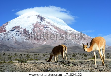 Vicugna is a wild South American camelid, which live in the high alpine areas of the Andes. It is a relative of the llama. Stratovolcano Chimborazo, in the Cordillera Occidental, central Ecuador. - stock photo