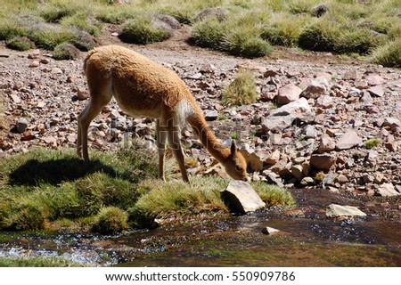 Vicuna in the Lauca National Park in Chile