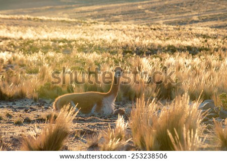 Vicuna or vicugna is wild South American camelid, which live in the high alpine areas of the Andes. It is a relative of the llama. Andes of Peru - stock photo