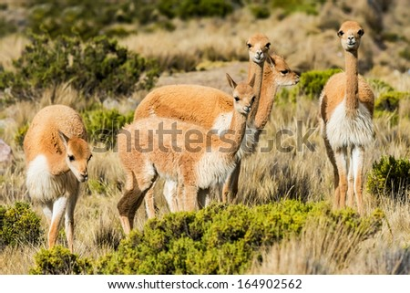 Vicunas in the peruvian Andes at Arequipa Peru - stock photo