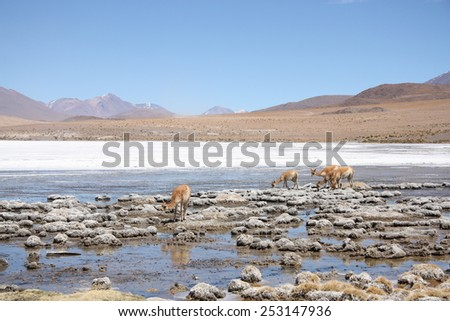 Vicunas or wild lamas in Mountains of South America, Bolivia - stock photo